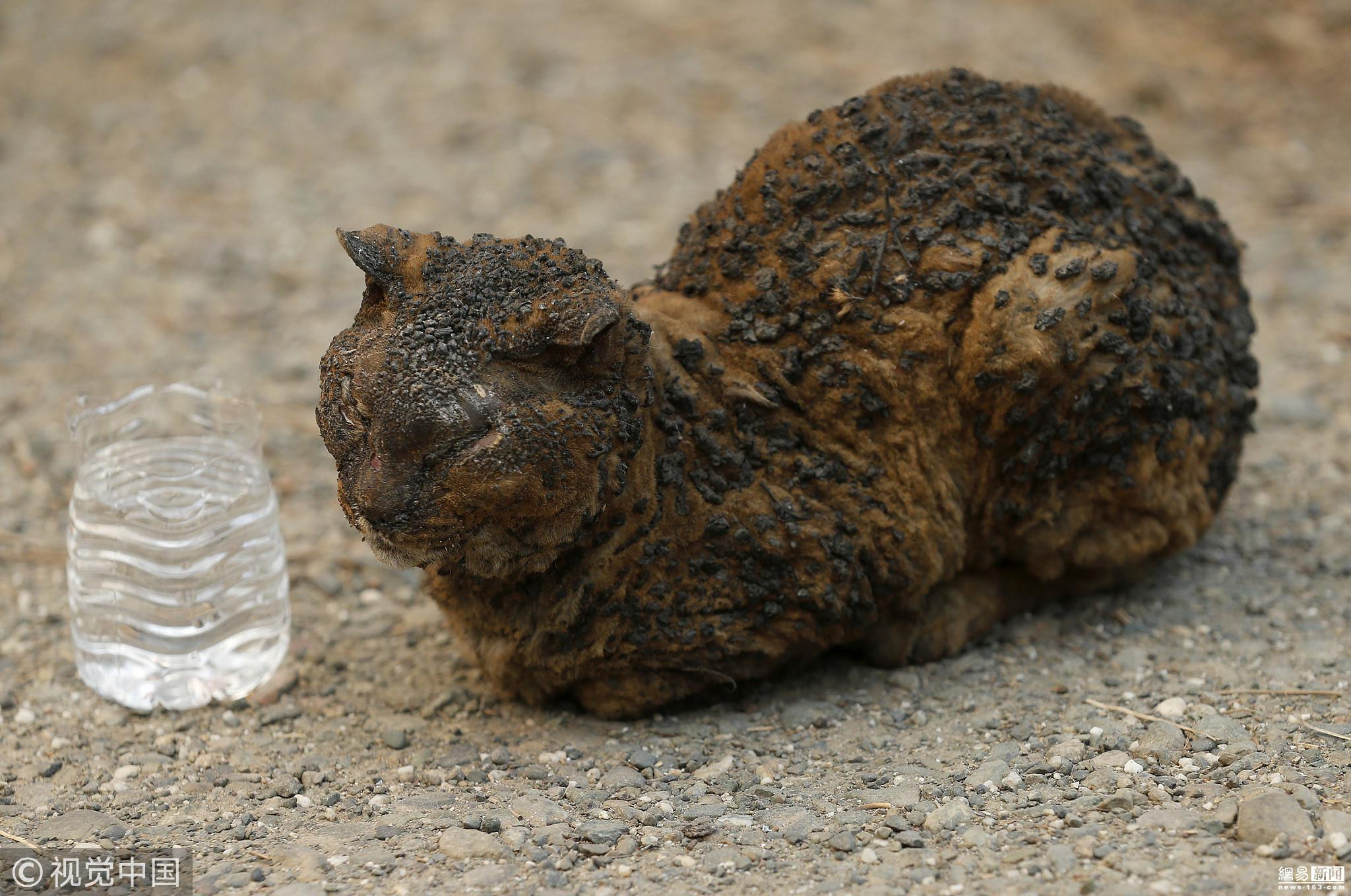 盘点加州山火中的动物们,它们有的葬身火海,画面令人心酸;有的幸运