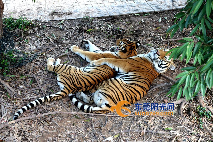 动物大对决老虎吃狮子