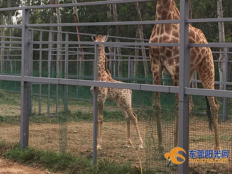 寮步香市动物园长颈鹿宝宝首见游客()