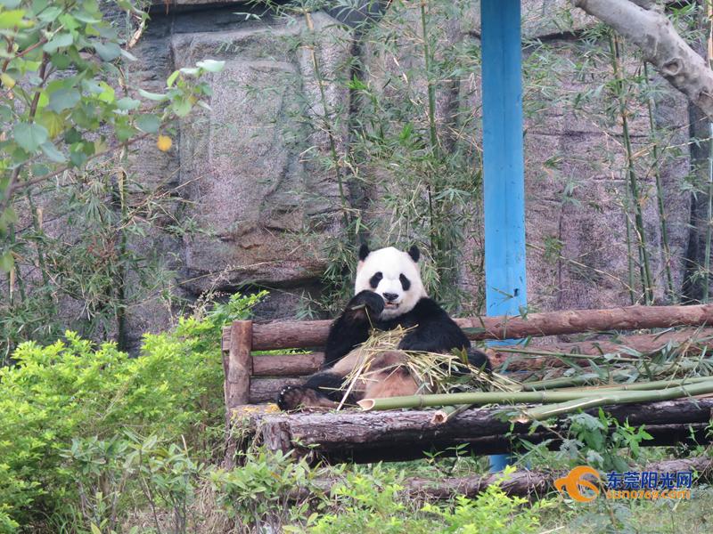 12月10日,记者从东莞香市动物园获悉,热带动物大象,长颈鹿,袋鼠等已经